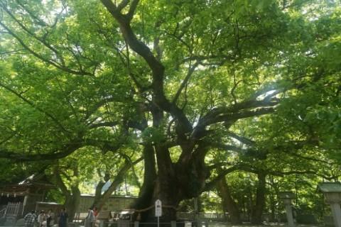 大麻比古神社の御神木